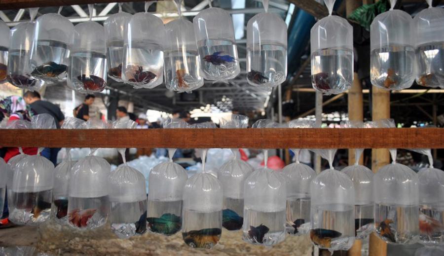 Prospek Bisnis Ikan Cupang di Tahun 2021 | KlikCair